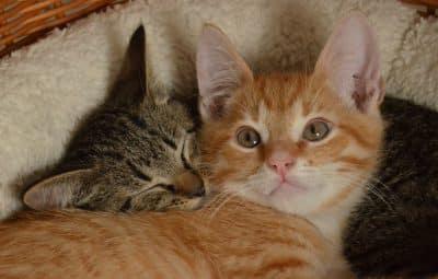 chats-mignon