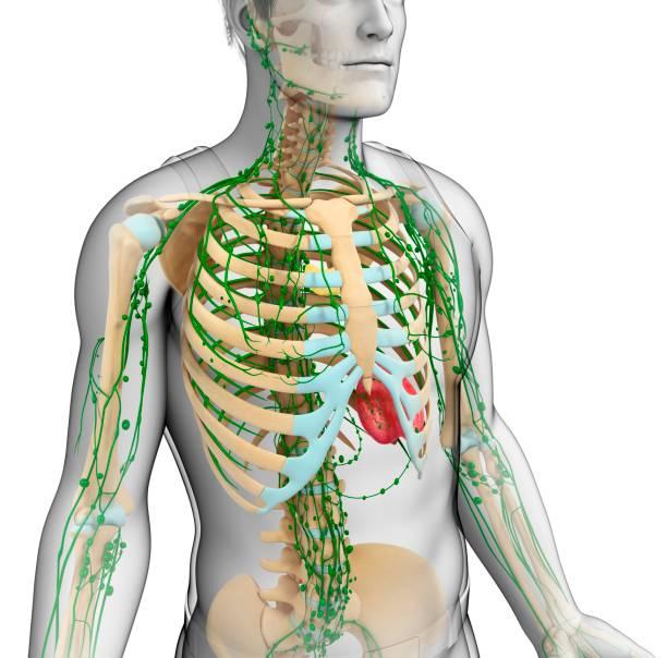 Schéma du système lymphatique d'un homme