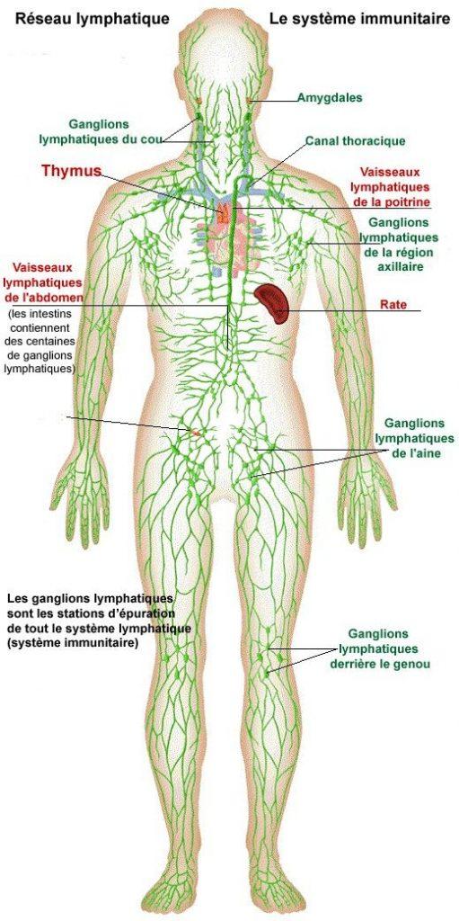 Schéma du système lymphatique humain